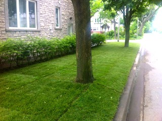 sodded-lawn